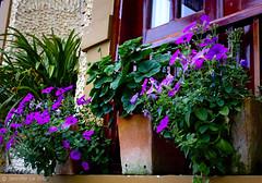 The balcony #2 (J e n n i f e r_ L e) Tags: flower nature photography asia vietnam sapa jenniferle vietphoto mailtojenniferlevietphotovn wwwvietphotocomvn lethimaihuong jleimages wwwjleimagescom