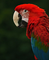 Macaw  in the Forest (algo) Tags: searchthebest beautifulcolorsdetails greenwingedmacaw rubyphotographer colours red blue green algo newforest burley beak eye england feathers 8923 naturesfinest topv555 topf50 200850plusfaves abigfave avianexcellence vosplusbellesphotos photography 81121 topv999 topv1111 topv2222 topf100 100f