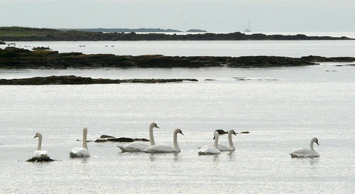 Swans in the bay