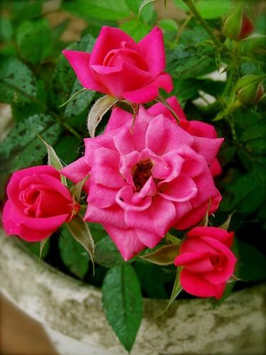 Pink Mini Rose