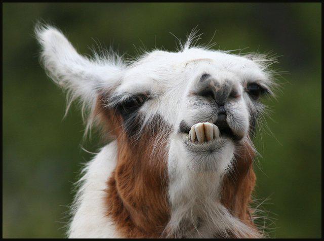 Funny Face - Llama