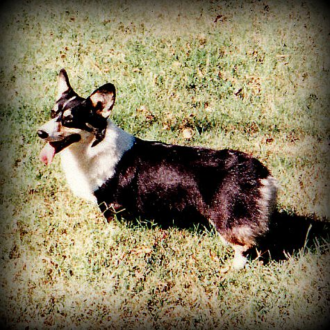 Mavis (Coltsfoot Corgi by the Northrun Lights) - Dec. 22, 1992 - Dec. 14, 2007