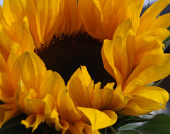 Sunflower (Shandchem) Tags: sunflower abigfave