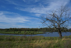 (Canicuss) Tags: blue sky tree green water field grass clouds fence landscape cows kansascity pasture whispy canicuss
