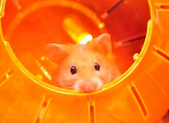 The hamster has landed (CaronPhotography) Tags: orange pet colour animal cheesecake whiskers explore hamster hamsterball msh1108 msh11083