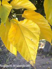 Yellow Leaf Macro (phil_sidenstricker) Tags: macro nature leaves closeup naturallight donotcopy valleyofthesunphoenixmetro upcoming:event=981998 southmountainfarmphoenixazusa