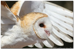 Barn Owl at Quogue (Wolfgang Wander) Tags: bird gimp owl barnowl tytoalba specanimal impressedbeauty quoguewildliferefuge wwcsig thisisnohallowowlthoughtheylooksimilar
