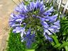 Agapanto azul (Agapanthus africanus) Tatuapé, sao paulo. South africa native (mauroguanandi) Tags: agapanthusafricanus millefiori agapanthaceae mimamorflores flickrlovers
