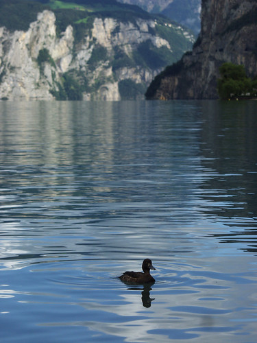 The Lone Duck