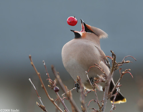 Bohemian-Waxwing (Silkitoppa)-3-E