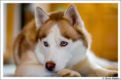 Nikki (Jesse James Photography) Tags: dog eyes nikon husky bokeh blueeyes 85mm siberianhusky nikkor 8514 adobelightroom anawesomeshot impressedbeauty nikond300