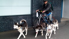 huskies / Malamuts 007a (gutenblerg2) Tags: blue iris dog snow eye woof bike hair team canine huskies american bark sledge reins malamut