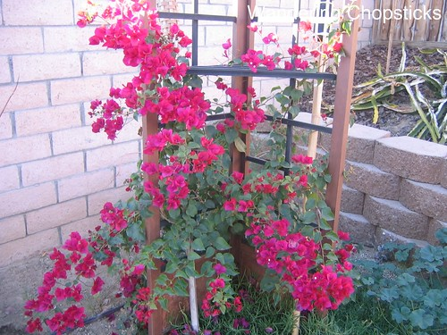 Bougainvillea, Gladiolus, and Chicago Peace Rose 1