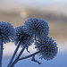 Frosty thistles