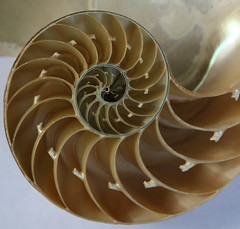 Chambered Nautilus Shell - detail