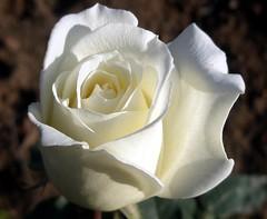 Mount Shasta . (maya_dragonfly) Tags: white plant flower macro beautiful rose garden lovely1 olympus botany whiterose gardenplant fallcolour masterphotos goldenmix fall08 greatflowersmacro macroflowerslovers