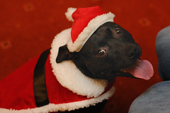 Cindy the Christmas Dog (Flxzr) Tags: santa christmas dog cindy staffordshirebullterrier staffy