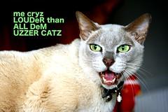 me cryz LOUDeR than ALL Dem UZZER CATZ (@Doug88888) Tags: pictures she uk cambridge england pet green girl animal lady female cat canon silver fur eos grey eyes furry image lol teeth u