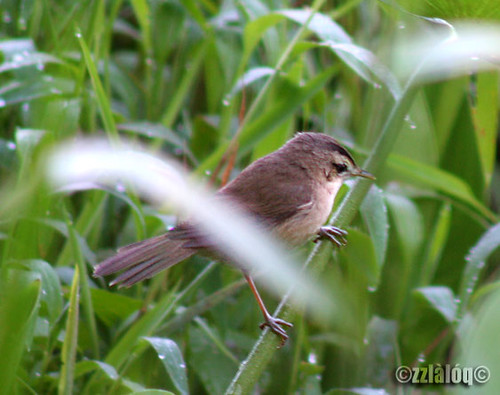 Cekup Paya Kecil @ Black-browed Reed-Warbler