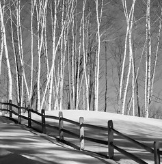 The Birches (Memories by Shari (Back!)) Tags: trees winter bw snow forest vermont newengland blackdiamond ebonyandivory photoqueen littlestories flickrsbest totalawesomeness amazingamateur theunforgettablepictures artlegacy theperfectphotographer tup2 amazingexcellence picswithsoul alwaysexc lesamisdupetitprince musicbest wanderinggypsies superstarthebest birchtreesbirch