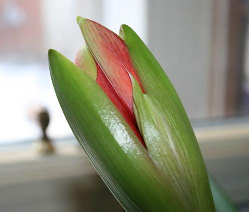 opening amaryllis bud
