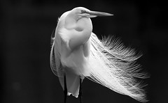 Egret in B&W (minds-eye) Tags: blackandwhite bird nature florida egret picnik guana potofgold gtmnerr