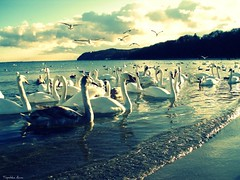 Monday dilemma... (anka.anka28) Tags: sea beach swan gull poland polska gdynia morze plaża pomorze
