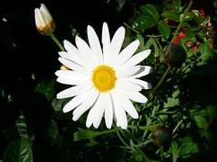 daisy (day 122)