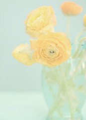 Ranunculas in Aqua Vase (Shana Rae {Florabella Collection}) Tags: life flowers stilllife texture glass yellow still aqua canvas textures vase rananculas florabella shadesofyellowfriday shanarae florabellatextures