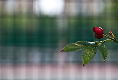 It may have been a hip rose (Geza (aka Wilsing)) Tags: fence bokeh rosehip selectivefocus d300 18200vr d0f