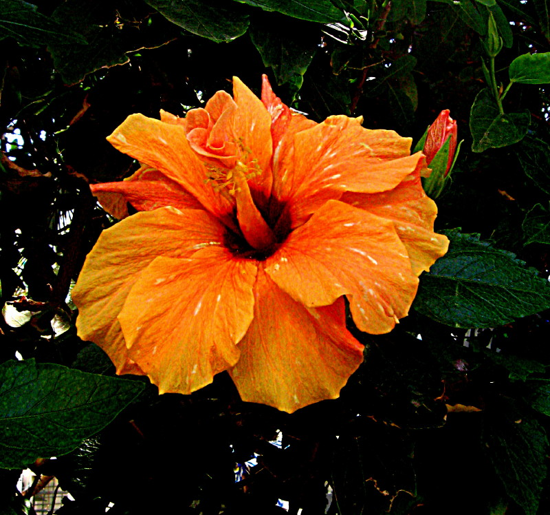 01-05-2010-orange-hibiscus