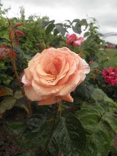 sob a chuva, as rosas
