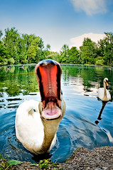 Swan Attack ;-)