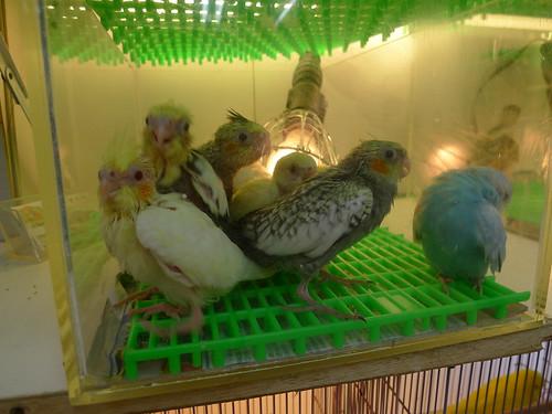 萬華鳥街-玄鳳鸚鵡寶寶