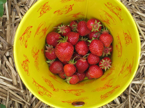 Bucket of berries by Eve Fox, Garden of Eating blog, copyright 2011
