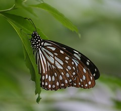 Nature's Polka Dots (Jeanie's Pics) Tags: nature butterfly wings newengland explore magicwingsbutterflyconservatory mywinners avision southdeerfieldma wtmwgroupiconwinner