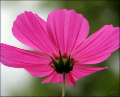 Cosmos from a different perspective... (Mary Trebilco) Tags: pink flowers green canon petals bokeh powershot explore handheld cosmos 12xzoom pinkpetals canonpowershots3is infinestyle bootyshotlol