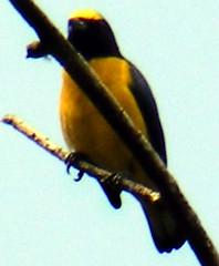 Scrub Euphonia, Euphonia affinis (asterisktom) Tags: bird ave chiapas vogel santodomingo  stodomingo casagrande euphonia    scrubeuphonia euphoniaaffinis photomem
