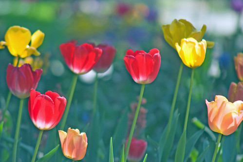 tulips in color, Istanbul tulip festival,  Istanbul, pentax k10d
