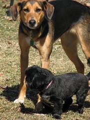 Dog Sizes:).