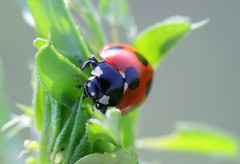 Ladybug ( Spice (^_^)) Tags: camera red color macro green art nature beautiful leaves japan canon bug insect geotagged asian photography eos photo amazing interesting kiss asia flickr colours image photos wordpress creative picture vivid blogger livejournal explore photographs photograph collections ladybug  safe portfolio vox dslr   gettyimages facebook friendster multiply larawan      twitter colorpicture creativeimages colorimages digitalx  twitpic