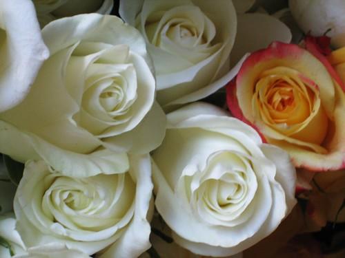 080704. roses.