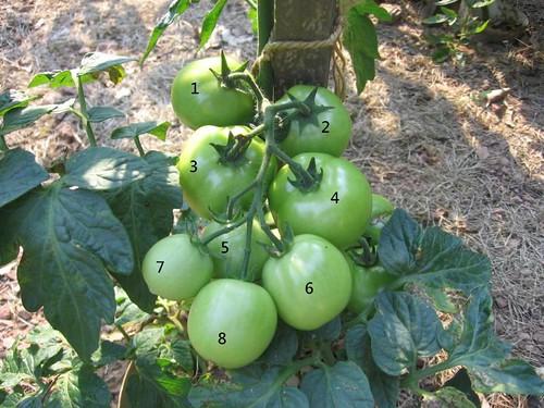 I haz tomatoes