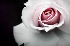 L.O.V.E (fertraban) Tags: macro flor rosa onblack flowerotica ltytrx5 ltytr2 ltytr1 ltytr3 ltytr4 ltytr5 infinestyle