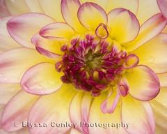 Dahlia (Photos by Elyssa) Tags: pink dahlia flower macro yellow raindrops elyssaconleyphotography