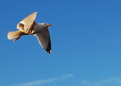 Dive bomber (©Komatoes) Tags: uk lens nikon seagull kitlens devon kit paignton d40