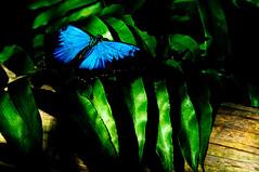 flutterby (nosha) Tags: blue nature beautiful beauty nikon australia qld queensland kuranda buttefly d300 nosha