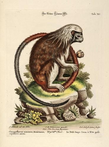 Le Petit Singe-Lion a Tete grise