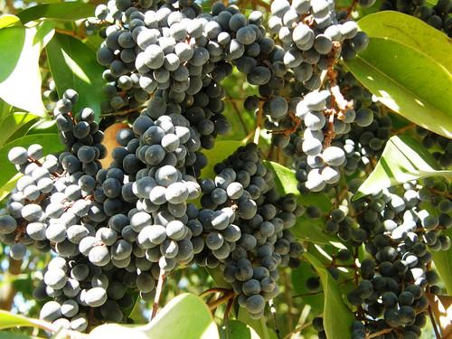Frutitos de ligustro 2