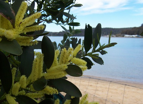 Golden Wattle at Ettalong Beach